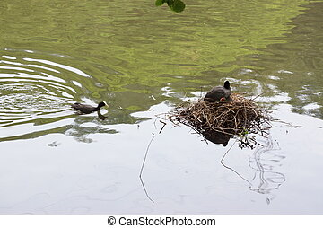 Two moorhens in the middle of a lake