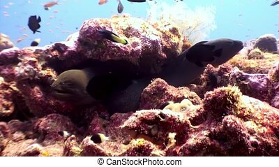 Two Moray eel underwater on coral reef seabed in Maldives. Unique amazing macro video closeup footage. Abyssal relax diving. Natural aquarium of sea and ocean. Beautiful dangerous animals.