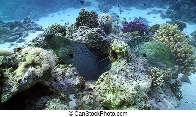 Two Moray on Coral Reef, Red sea