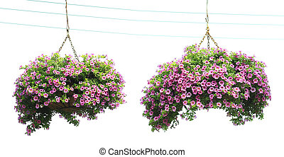 Two morning glory flower baskets in the hanging,Isolated on...