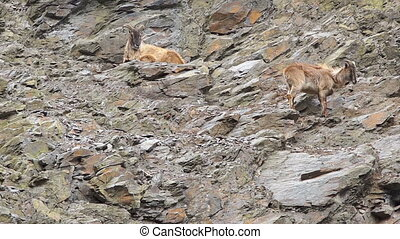 Two mountain goats resting on a rocky slope