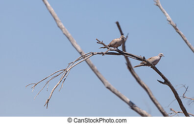 Two mourning doves Zenaida macroura perch in a tree over a ...
