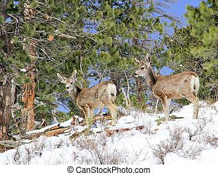 Two mule deer foraging for food on snowy hillside