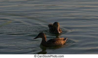 Two multicolored ducks swim in lake waters at sunset