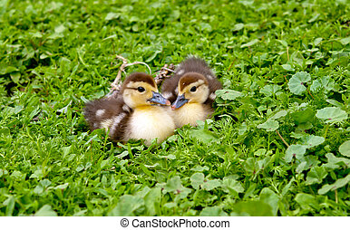two muscovy duck