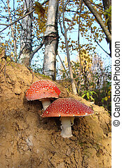 Two mushroom growing in the forest