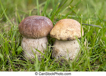Two mushroom in a forest glade