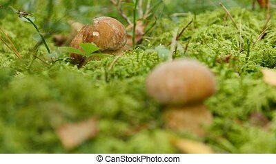 Two mushrooms growth in the forest. Boletus edulis - Two...