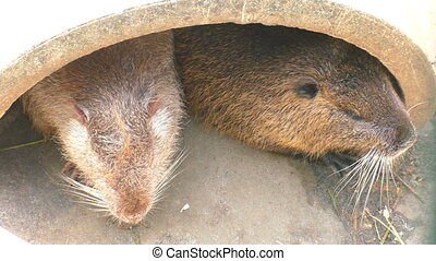 Two muskrats sit in their dwelling. - Two muskrats sit in...
