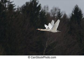Two mute swans (cygnus olor) flying
