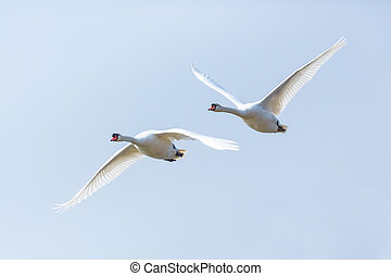two mute swans (cygnus olor) in consecutive flight - two ...