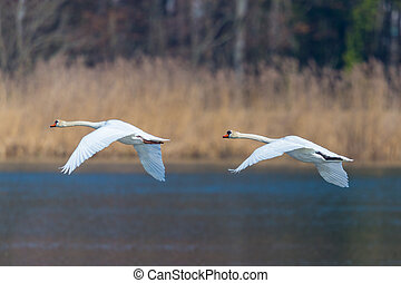 two mute swans (cygnus olor) in consecutive flight, water, ...