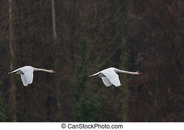 Two mute swans (cygnus olor)