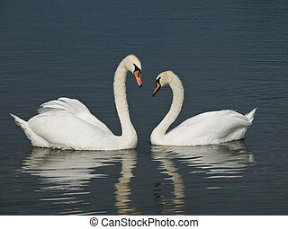 Two Mute Swans, Cygnus olor looking at each other with bend...
