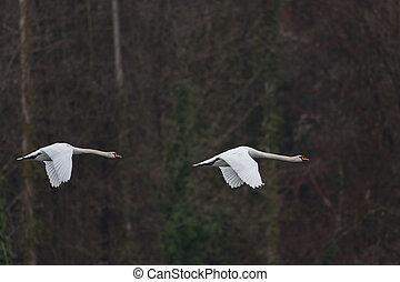 Two mute swans (cygnus olor)