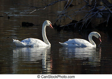 Two mute swans in a dark pond