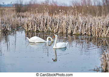 Two mute swans in the pond