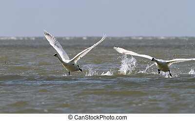 two mute swans taking off - two mute swans ( cygnus olor )...