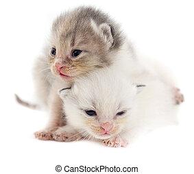 Two newborn kitten isolated on white background