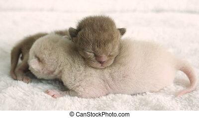 two newborn kittens Burmese breed on the fur litter