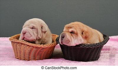 Two Newborn Shar Pei Dog Pups in a Basket