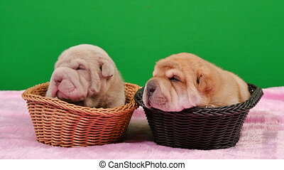 Two Newborn Shar Pei Dog Pups in a Basket Green Screen