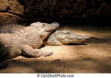 Two Nile Crocodiles Resting in Lair - Two Nile Crocodiles...