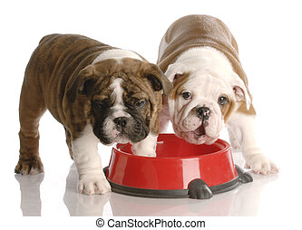 two nine week old english bulldogs puppies and a red dog ...