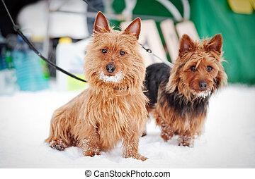 two Norwich terrier portrait