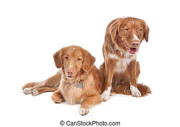 two Nova Scotia Duck Tolling Retriever dogs in front of a...