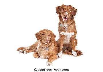 two Nova Scotia Duck Tolling Retriever dogs