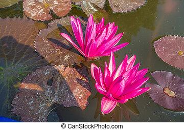 Two Nymphaea pink lotus