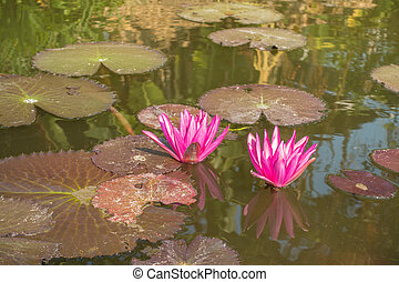 Two Nymphaea pink lotus