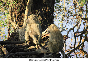 Two olive baboons in a tree