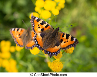 two orange butterfly on tansy flowers