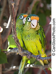 Two Orange Fronted Parakeets