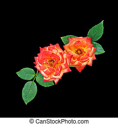 Two orange roses isolated on a black background