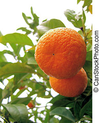 two oranges on a tree...