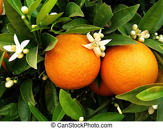 Two oranges on orange tree - two oranges with blossom ...
