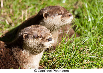 Two Oriental Small-Clawed Otters resting