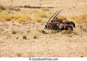 Two Oryx lying down in the Kgalagadi desert