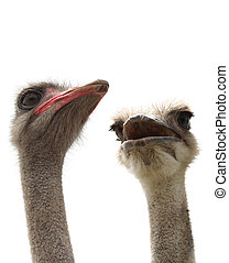 two ostrichs
