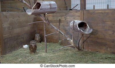 Two owls walking on hay in wooden house.