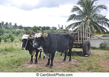 Two oxen harnessed to a cart standing near a palm tree.