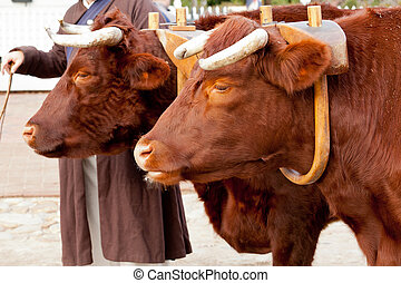 Two oxen in yoke pulling a cart - Pair of oxen in a wooden...