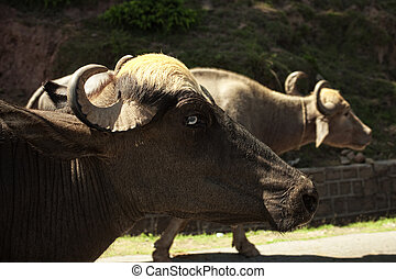 Two oxen walking on the road