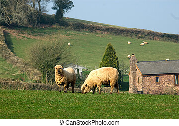 two Oxford down Sheep