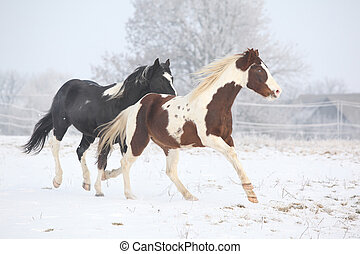 Two paint horses playing in winter