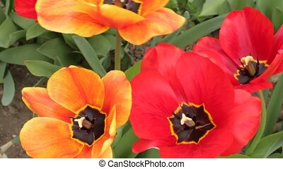 Two pairs of colorful opened tulips