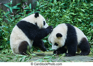 two Panda bears cubs playing Sichuan China